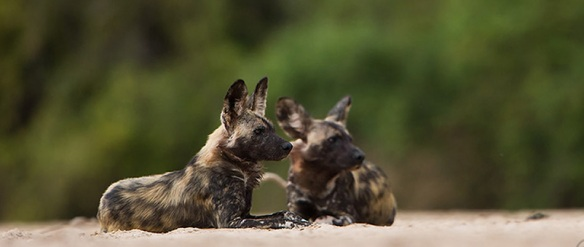Image of Painted Wolves