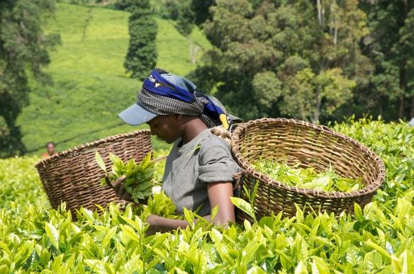 Image of Cafédirect Tea Plucker in Kenya