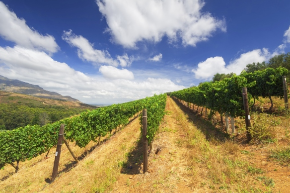 Image of vineyards