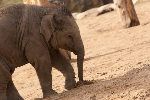 Image of a baby elephant at Twycross