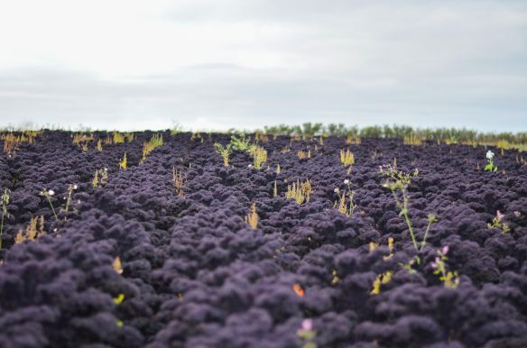 Image of kale in the field